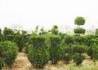 造型黄杨树