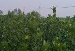 大叶黄杨--两年苗