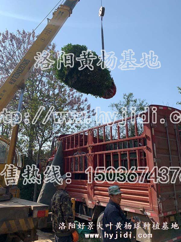 冠幅1.2米大叶黄杨柱 (34)