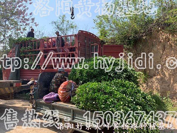 冠幅1.2米大叶黄杨柱 (35)