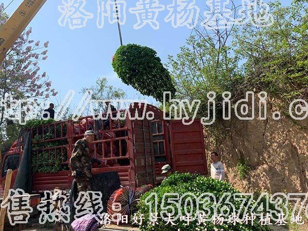冠幅1.2米大叶黄杨柱 (36)