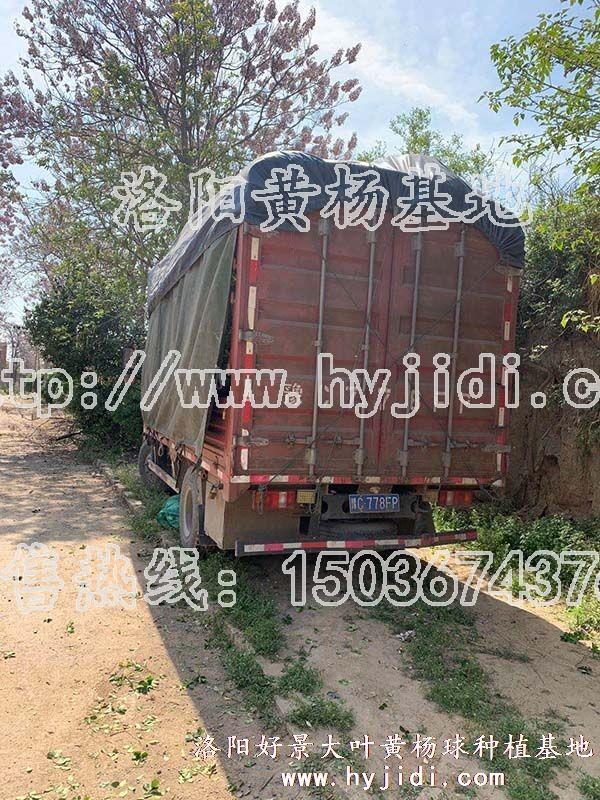 冠幅1.2米大叶黄杨柱 (38)