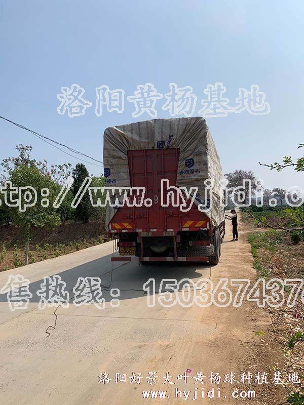 冠幅1.2米大叶黄杨柱 (41)