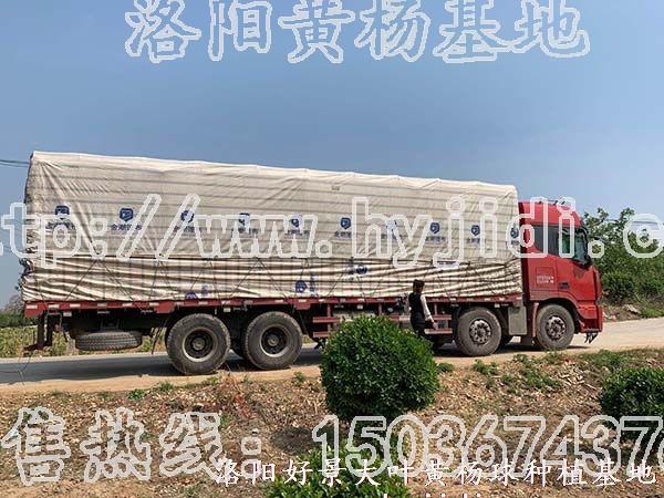 冠幅1.2米大叶黄杨柱 (42)