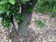 黄杨树图片