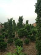 大叶黄杨柱图片