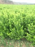 高度一米以上冠幅30公分大叶黄杨绿篱苗图片