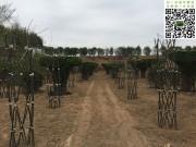 造型苗木培育过程图片