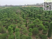 造型大叶黄杨基地全貌图片
