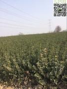 高度60公分以上冠幅25左右大叶黄杨绿篱