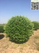 冠幅2.3米大叶黄杨精球
