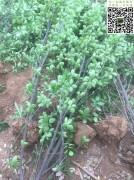 高度2.5m北海道黄杨