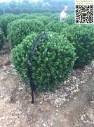 冠幅1.3米大叶黄杨球