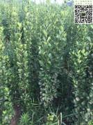 高度1.5米-1.8米北海道黄杨