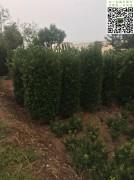 冠幅80公分以上大叶黄杨柱