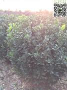 1.2米大叶黄杨净球-精球