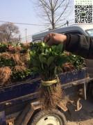 2018年第一批大叶黄杨插扦苗
