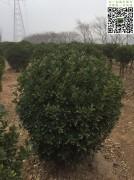 2018年3月1.2米大叶黄杨球起苗现场