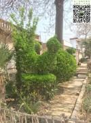 造型大叶黄杨-动物类图片