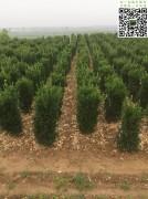 1.5米大叶黄杨柱高度1.5米以上冠幅50公分左右