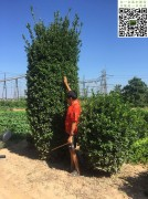 高度3米冠幅1米大叶黄杨柱
