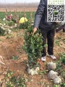 2019年三月大叶黄杨绿篱苗起苗现场