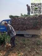 大叶黄杨绿篱苗三角土球无纺布包装_5253