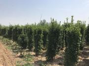 1.2米大叶黄杨柱