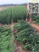 6月份大叶黄杨绿篱苗高度50-60-70