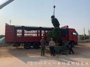 冠幅2米大叶黄杨球 (37)