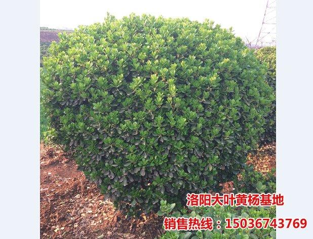 冠幅1.5米/W1.5m大叶黄杨球