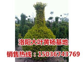 小叶黄杨造型-花瓶