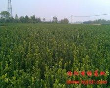 大量两年大叶黄杨苗木
