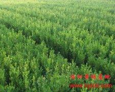 春天生长期的大叶黄杨