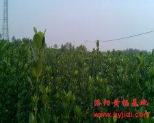 大叶黄杨价格-洛阳黄杨基地