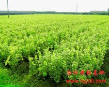 小叶黄杨栽培技术
