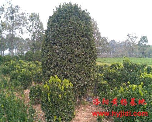 1.5米大叶黄杨球