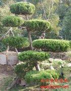 造型黄杨盆景