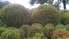 3m(三米)大叶黄杨球