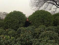 深秋冠幅4-5m大叶黄杨球