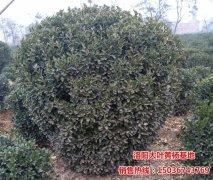 1.8m-2m黄杨球图片