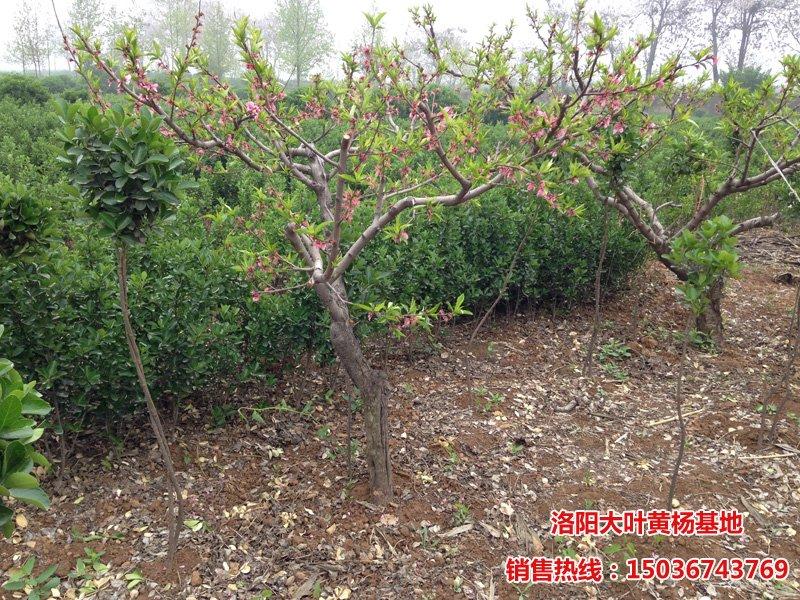 桃树种植基地