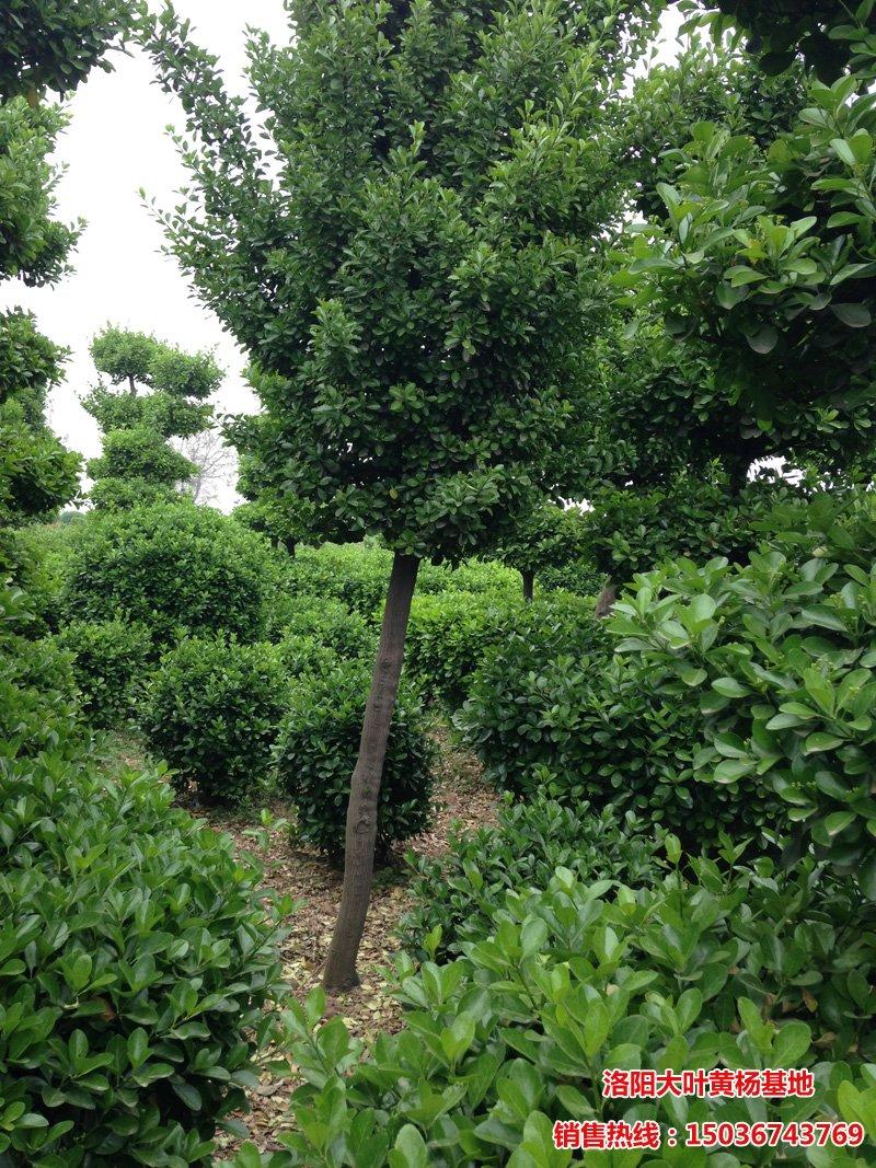 大叶黄杨树