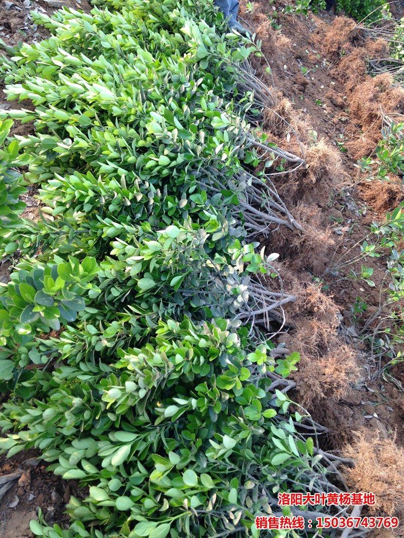 大叶黄杨工程苗挖树