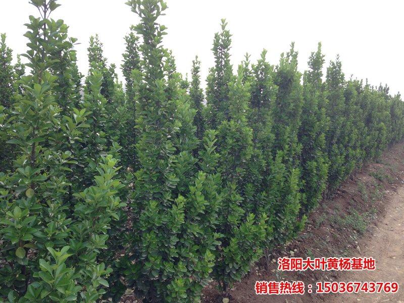 1.5m北海道黄杨