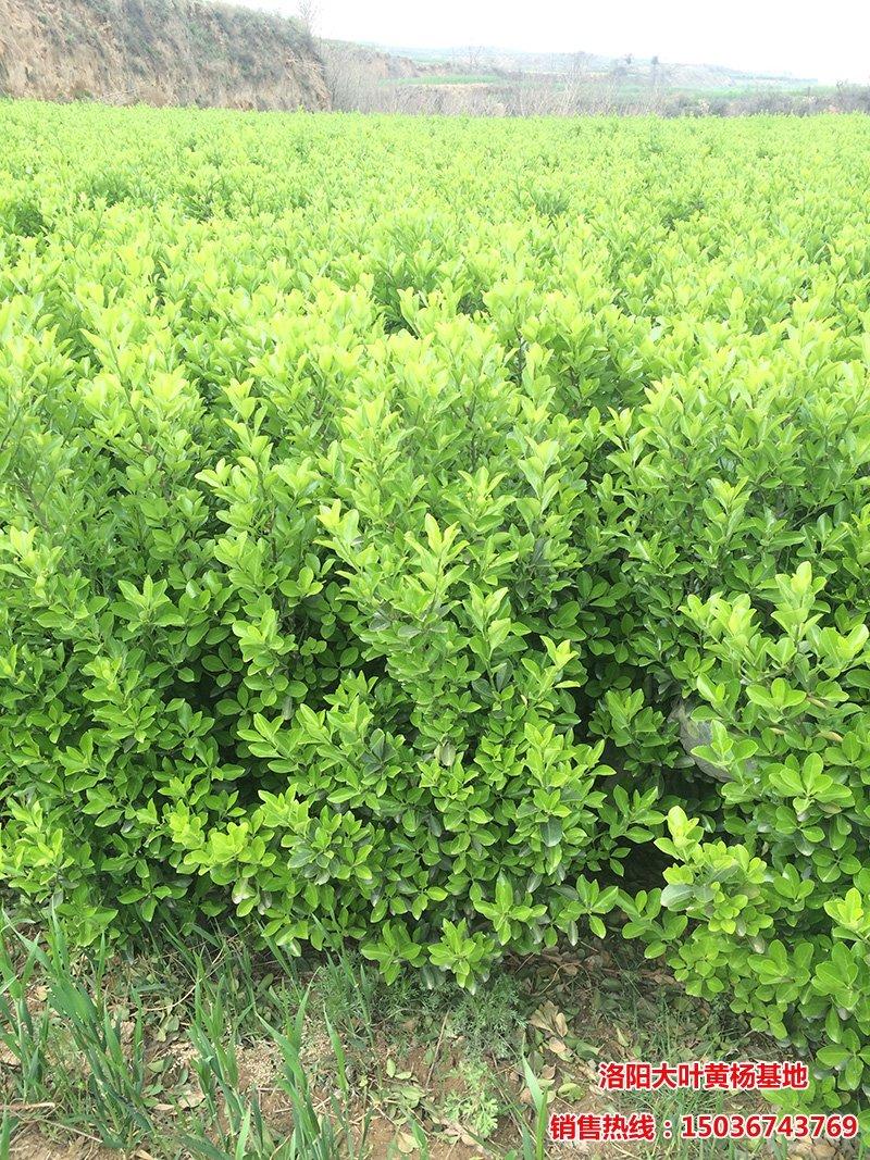 高度一米以上大叶黄杨绿篱