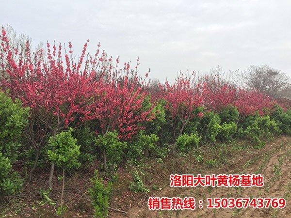 紫叶碧桃图片
