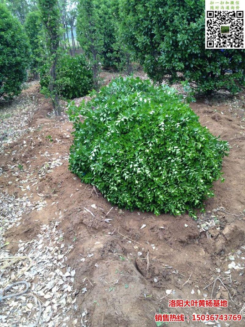 冠幅2.2米大叶黄杨球已挖