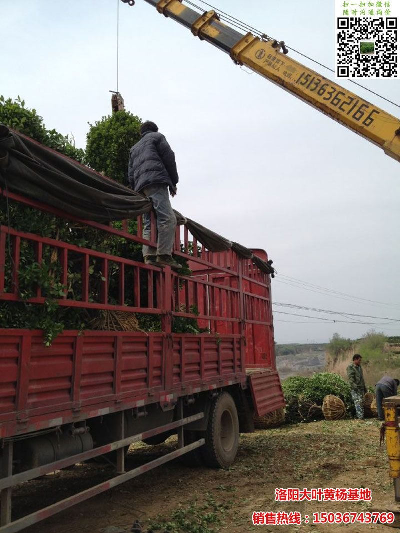 冠幅2.2米大叶黄杨球装车