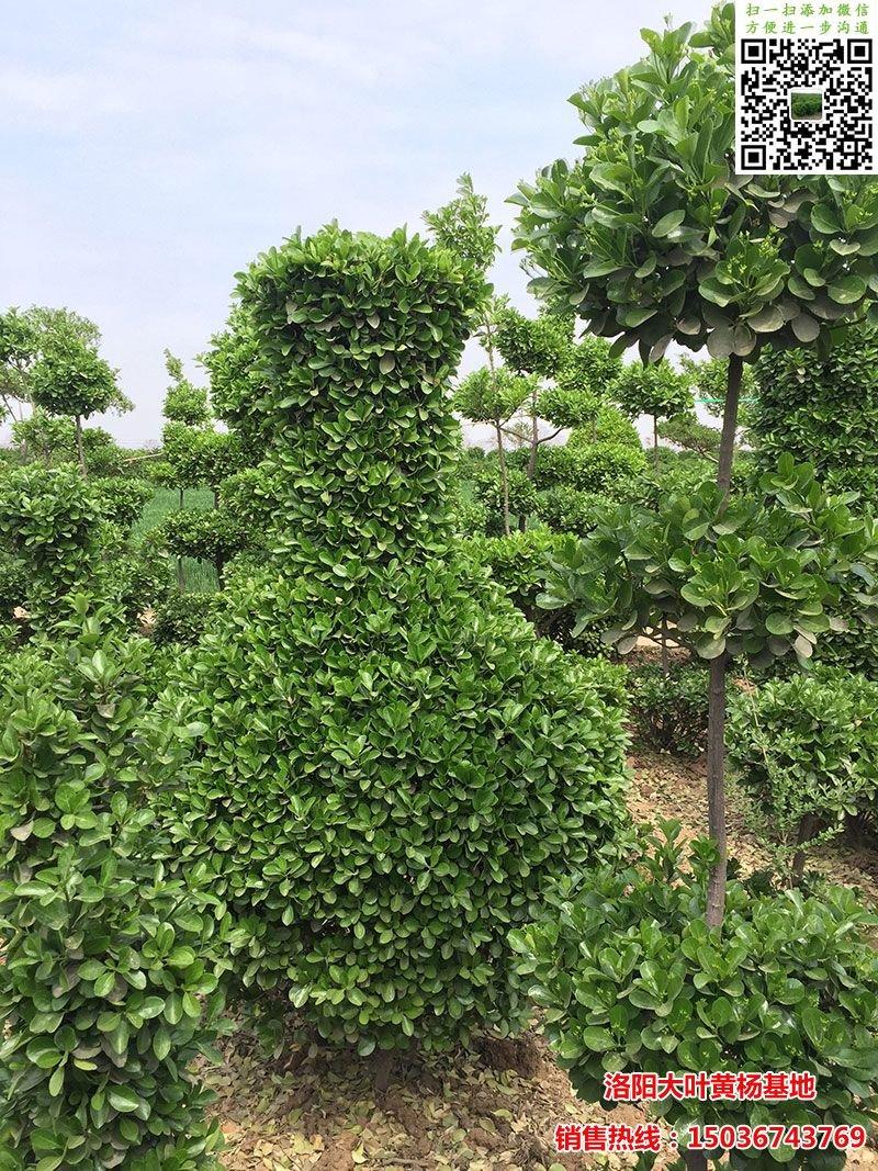 造型大叶黄杨花瓶